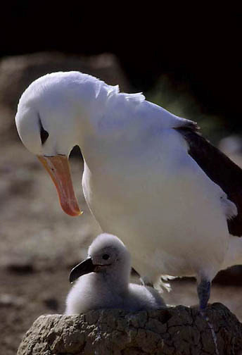 Black-browed Albatross (Diomedea melanophris) Adult and chick on nest. Falkland Islands.