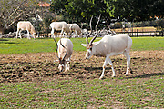 A herd of Arabian oryx or white oryx (Oryx leucoryx) in captivity.