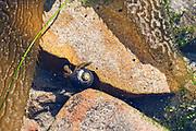 Blueband Hermit Crab (Pagurus samuelis) in Black Tegula shell (Tegula funebralis), in tidepool at Leo Carrillo State Park, Malibu, CA