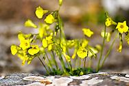 Yellow wildflowers called Bermuda Buttercups bloom in Sardinia, Italy's rocky ground.