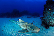 zebra shark or leopard shark, Stegostoma fasciatum, Flat Rock, N. Stradbroke Island, near Brisbane, Queensland, Australia ( Western Pacific Ocean )