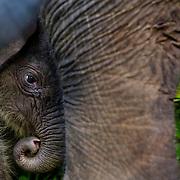 Newborn Sumatran elephant at the CRU IN Tangkahan, Leuser ecosystem. Photo: Paul Hilton for RAN