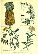 Bromelia [Sugar-loaf pine-apple or Pineapple], Bryonia [Red-berried white bryony] Buphthalmum [Sunflower-leaved Ox-eye also Oxeye] Bupleurum [Shrubby Hare's Ear] from Vol 1 of the book The universal herbal : or botanical, medical and agricultural dictionary : containing an account of all known plants in the world, arranged according to the Linnean system. Specifying the uses to which they are or may be applied By Thomas Green,  Published in 1816 by Nuttall, Fisher & Co. in Liverpool and Printed at the Caxton Press by H. Fisher