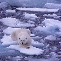 Polar Bear drifts on floating ice in Arctic Ocean near Franz Josef Land, Russia.