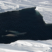 Beluga whales (Delphinapterus leucas) come to the surface of the Beaufort Sea using a wide open lead that has formed in the sea ice. Kaktovik, Alaska.