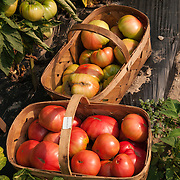 Baskets of heirloom tomatoes in the fields at Verrill Farm, Concord, Massachusetts