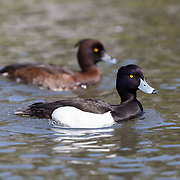 Pair of tufted ducks (Aythya fuligula), male in front, female in the background.