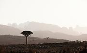 Dragon Blood Trees at Dixsam, Socotra, Yemen