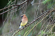 Adult Cedar Waxwing (Bombycilla cedrorum) perched in a tree near the pond at Godwin Farm Biodiversity Preserve in Surrey, British Columbia, Canada