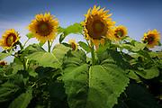 Sunflowers near Celina, TX