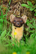 Pine Marten Martes martes Length 55-80cm Secretive and mainly nocturnal mammal. Diet includes small mammals, Rabbits, birds and frogs. Agile climber, capable of catching Red Squirrels. Adult has slender body and long, bushy tail. Head is pointed and ears are relatively large. Fur is thick, sleek and mainly dark orange-brown with creamy yellow throat patch. Mostly silent. Formerly widespread but widely persecuted and eradicated from many areas; now restricted mainly to remote parts of Scotland and Ireland. Favours broken ground, often with tree cover.