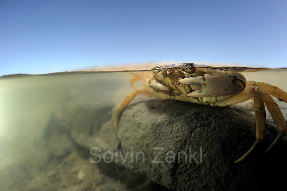 A Common shore crab (Carcinus maenas) in the intertidal zone at the mud flats (Wadden Sea) infront of the Island Pellworm, North se, Germany . In the tide pool | In einem Gezeitentümpel hockend überdauert die Strandkrabbe (Carcinus maenas) die Zeit der Ebbe im Wattenmeer. Wattenmeer, Nordsee, Deutschland