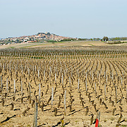 Rows of young vines in an old French vineyard