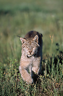 Lynx walking straight toward observer  (This animal was born and raised in captivity, photographed in an outdoor setting in Idaho.) © David A. Ponton
