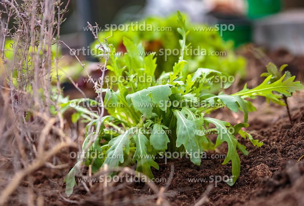 THEMENBILD - eine Rucola Pflanze, aufgenommen am 10. April 2018 in Kaprun, Österreich // a arugula plant, Kaprun, Austria on 2018/04/10. EXPA Pictures © 2018, PhotoCredit: EXPA/ JFK