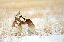 Pronghorn Antelope, deep snow, winter, Grand Teton National Park