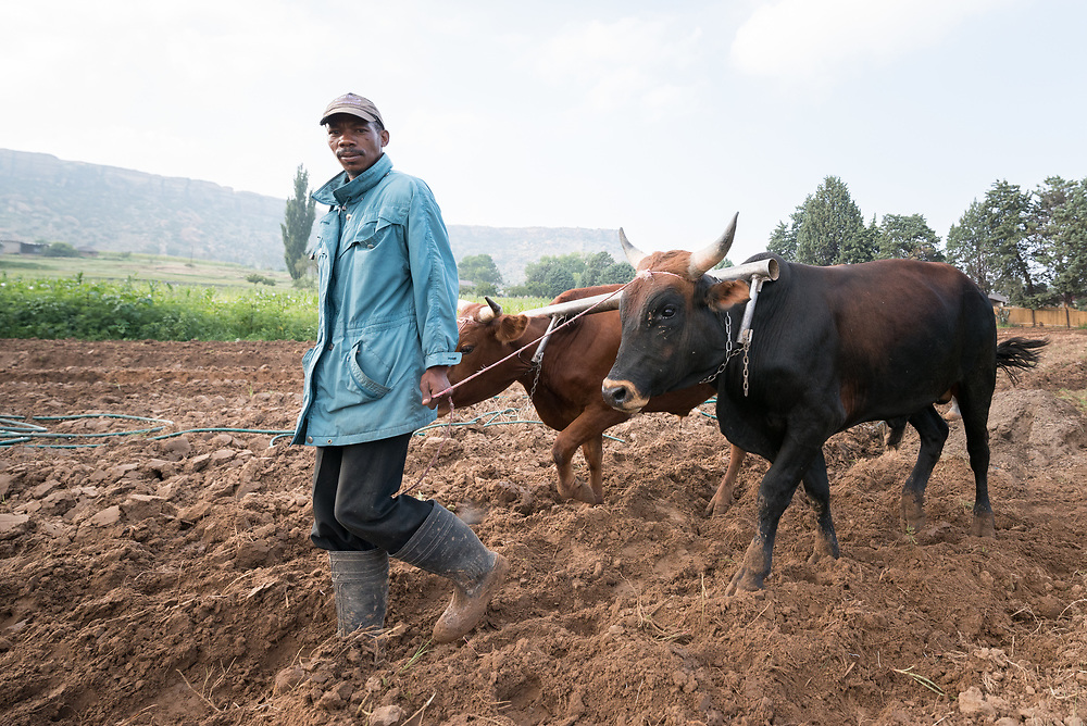 """1 March 2017, Thaba Bosiu, Lesotho: Nako Makhemeng leads oxen as they plough the field, in the village of Thaba Bosiu, Lesotho. Following the oxen is David Moshoeshoe, 33 years old. Nako and David live on the hillside of Thaba Bosiu, """"Night Mountain"""" in Thaba Bosiu, Lesotho. They grow vegetables, mainly cabbage and spinach. Thaba Bosiu is a sandstone plateau some 24 kilometers east of Lesotho's capital, Maseru. The name means Night Mountain, and surrounding the plateau is a small village and open plains. Thaba Bosiu was once the capital of Lesotho, and the mountain was the stronghold of the Basotho king when the kingdom of Lesotho was formed."""