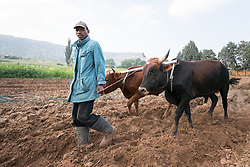 "1 March 2017, Thaba Bosiu, Lesotho: Nako Makhemeng leads oxen as they plough the field, in the village of Thaba Bosiu, Lesotho. Following the oxen is David Moshoeshoe, 33 years old. Nako and David live on the hillside of Thaba Bosiu, ""Night Mountain"" in Thaba Bosiu, Lesotho. They grow vegetables, mainly cabbage and spinach. Thaba Bosiu is a sandstone plateau some 24 kilometers east of Lesotho's capital, Maseru. The name means Night Mountain, and surrounding the plateau is a small village and open plains. Thaba Bosiu was once the capital of Lesotho, and the mountain was the stronghold of the Basotho king when the kingdom of Lesotho was formed."