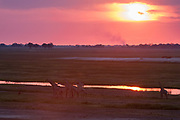 A herd of southern giraffes, Giraffa camelopardalis, walking along the banks of the Chobe River at sunset.