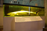 A preserved shark on display at the Cabrillo Marine Aqurium in San Pedro, CA.