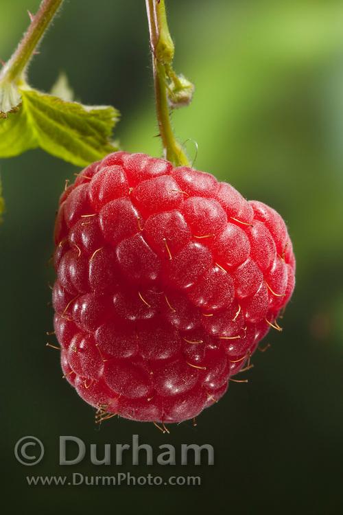 A plump and tasty raspberry. Oregon. © Michael Durham / www.DurmPhoto.com