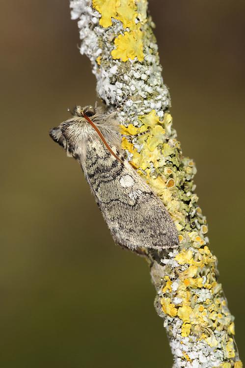Yellow-horned - Achlya flavicornis