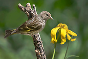 Pine siskin, Spinus pinus, Sandia Mountains, New Mexico