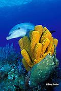 bottlenose dolphin, Tursiops truncatus, and tube sponges, Aplysina fistularis, Cayman Islands ( Caribbean )