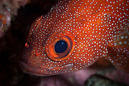 Trachypoma macracanthus (Toadstool grouper)
