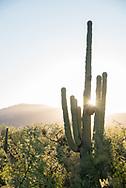 Saguaro cacti in Tucson, Arizona.