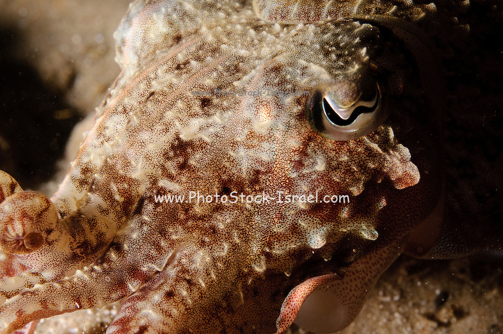 The Common Cuttlefish or European Common Cuttlefish (Sepia officinalis) is one of the largest and best known cuttlefish species. It grows to 49 cm in mantle length (ML) and 4 kg in weight. The Common Cuttlefish is native to at least the Mediterranean Sea, North Sea, and Baltic Sea, although subspecies have been proposed as far south as South Africa. It lives on sand and mud seabeds to a depth of around 200 m. As in most cuttlefish species, spawning occurs in shallow waters.