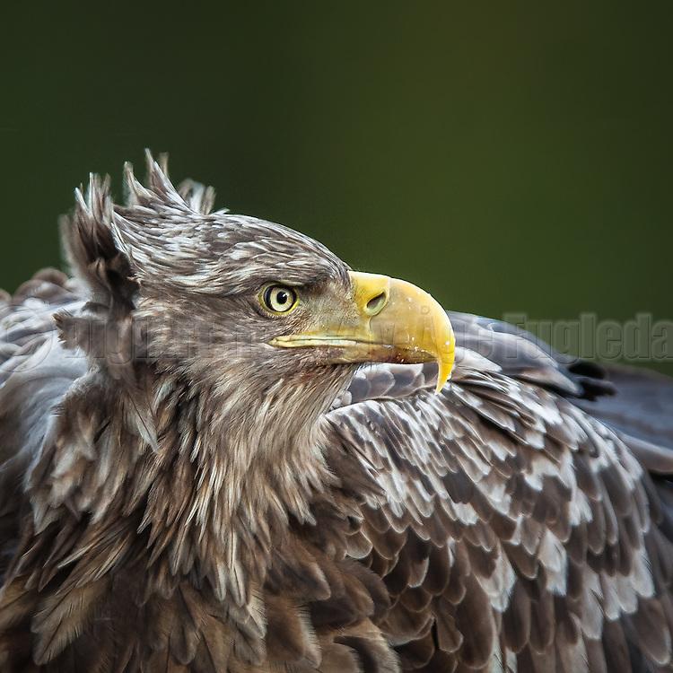 Closeup portrait of White-tailed Eagle   Nærportrett av Havørn