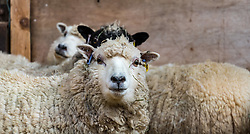 East Lothian, Scotland, United Kingdom. Shetland sheep lambs: Briggs Pure Bred Shetland Lambs maintain flocks in East Lothian and Shetland. Day 2 of lambs being born sees the arrival of a single lamb for one ewe and twins for another; all of them dark. Pictured: Pregnant ewes whose lambs will be born within the next 10 days.<br /> Sally Anderson   EdinburghElitemedia.co.uk