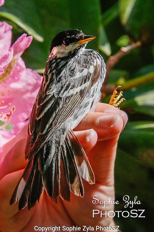 Blackpoll Warbler Manomet Bird Banding