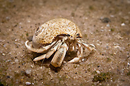 The abdomen of a hermit crab is soft.  It uses abandoned shells, usually from snails, to protect itself.