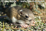 Merriam's Kangaroo Rat, Dipodomys merriami