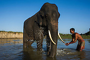 Asian elephant (Elephas maximus) being bathed by Mahout<br /> Kaziranga National Park<br /> Assam<br /> North East India<br /> UNESCO World Heritage Site<br /> ENDANGERED