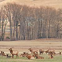 A herd of Elk (Cervus canadensis) grazes in a field near Bozeman, Montana.