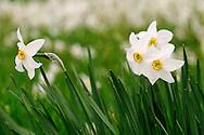 France, Languedoc Roussillon, Lozère (48), Cevennes, fleurs de Narcisse des poètes, N.L.: Narcissus poeticus, (Amaryllidacées)