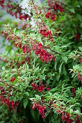 Fuchsia 'Kat Jan'