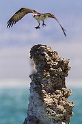 An osprey (Pandion haliaetus) takes off with a scrap of food from a tufa in Mono Lake, California. Tufa are limestone columnns that form naturally due to a chemical reaction in the lake. They form underwater and were exposed when the lake level dropped.