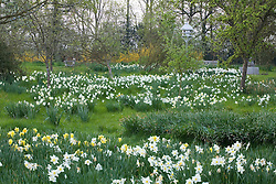 Daffodils in the Orchard at Sissinghurst Castle Garden in spring
