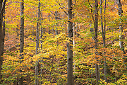 The Fall foliage colours of Maples at Stowe in Vermont, New England, USA