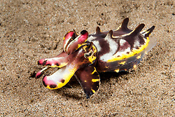A strikingly colored Flamboyant Cuttlefish, Metasepia pfefferi, uses specialized arms to walk across the seafloor. Dauin, Visayan Sea, Philippines, Pacific Ocean