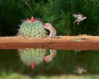Mexican Ground Squirrel with a Barrel Cactus Fruit at Campos Viejos Ranch in Southern Texas. Image taken with a Nikon Df camera and 80-400 mm VRII lens (ISO 180, 200 mm, f/5.6, 1/1000 sec).