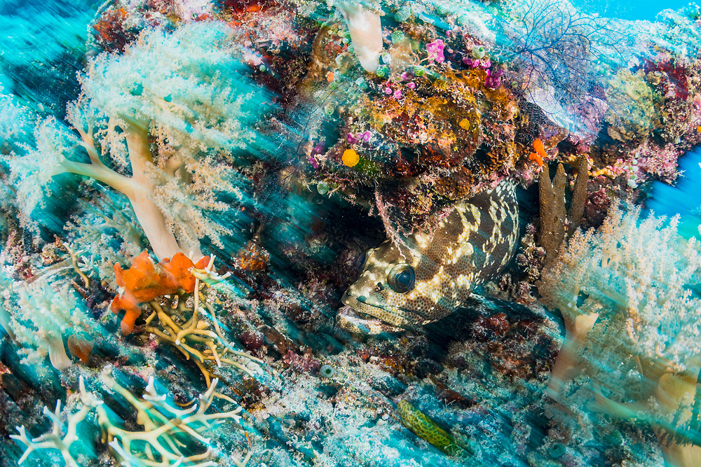 Camouflage grouper (Epinephelus polyphekadion) hiding in the coral reef, Palau.
