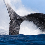 Adult female humpback whale (Megaptera novaeangliae) executing a dramatic tail slash, sending sea water and spray in all directions. Photographed in Vava'u, Tonga.