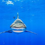 Oceanic whitetip shark (Carcharhinus longimanus) head on just under the surface of the water. Image made off Cat Island, Bahamas.