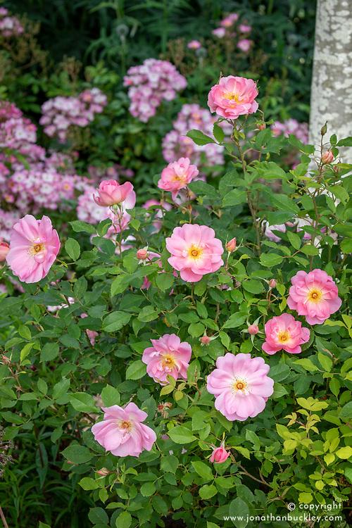 Rosa The Lady's Blush = 'Ausoscar'