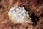gold lace nudibranch, Halgerda terramtuentis,  endemic to Hawaiian Islands, south shore, Kauai, Hawaii, USA ( Central Pacific Ocean )